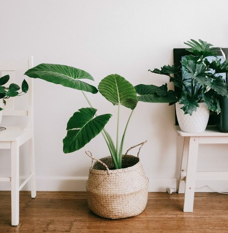 Protecting your wood floor from water staining from your pot plants Art of Clean